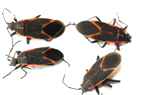 Box Elder Bugs Dr Bug Southern Ontario Pest Control