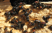 Carpenter Ants in Firewood