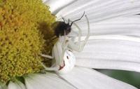Crab Spider Eating a fly