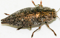 Flat Headed Wood Borer
