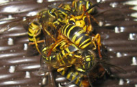 Paper Wasps attacking Hornet