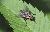 Sarcophagid Fly